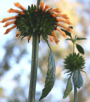 Leonotis Ocymifolia Var. Raineriana – Wilde Dagga (seed)