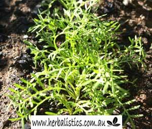 Lepidium Meyenii – Maca (seed)