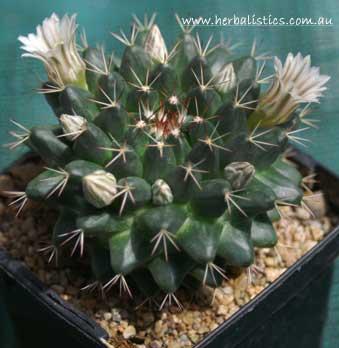 Mammillaria Heyderi (seed)