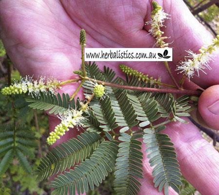 Mimosa Hostilis V. Inermis – Jurema (seed)