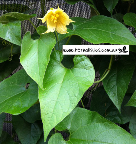 Siraitia Grosvenorii – Arhat Fruit (plant)