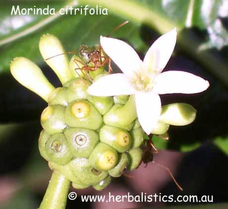 Morinda Citrifolia – Noni (plant)
