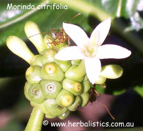 Morinda Citrifolia – Cheesefruit (seed)
