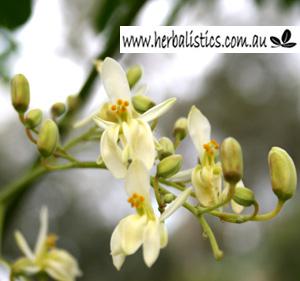 Moringa Oleifera – Drumstick Tree (seed)