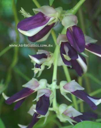 Mucuna Pruriens V. Utilis – Velvet Bean (seed)