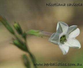 Nicotiana cavicola