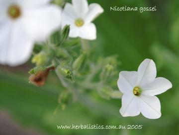 Nicotiana Gossei (seed)