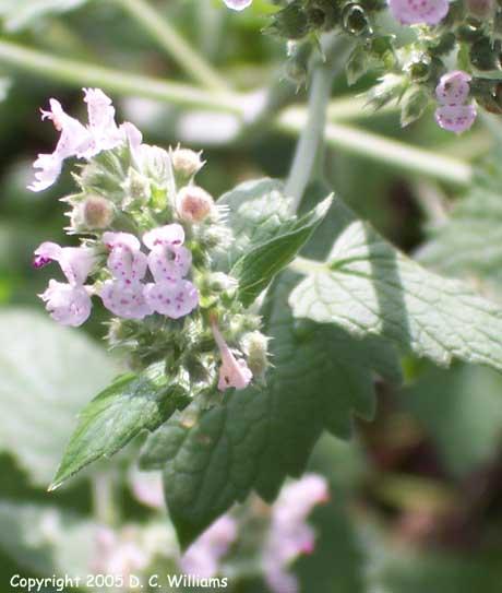 Nepeta Cataria – Catnip (seed)
