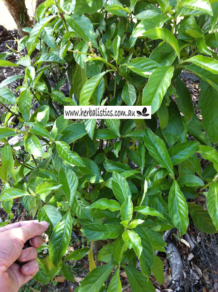 Psychotria Cv. 'Nexus' (plant)