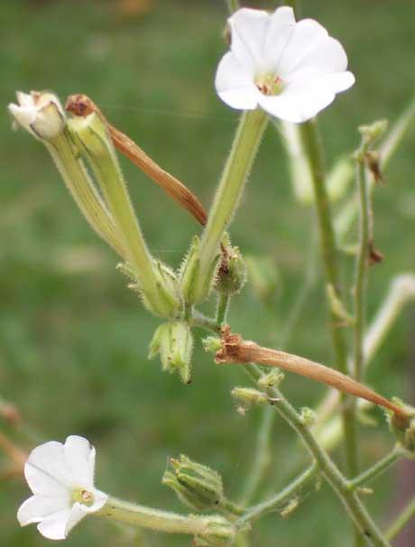 Nicotiana Maritima (seed)