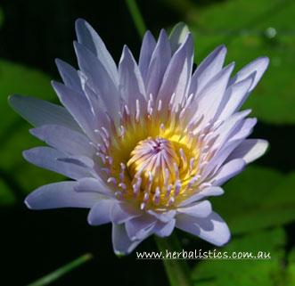Nymphaea Caerulea – Blue Lotus (seed)