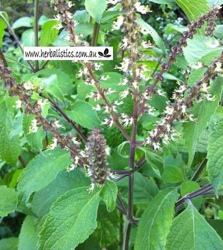 Ocimum Gratissimum – Vana Tulsi (seed)