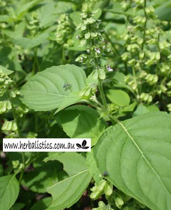Ocimum Micranthum – Amazonian Mint (seed)
