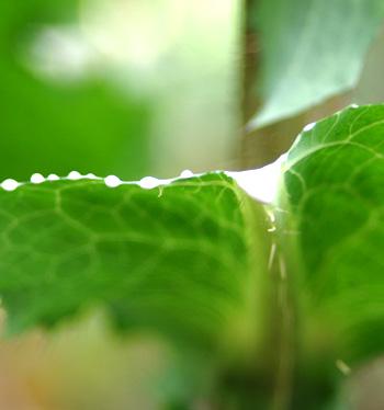 Opium Lettuce