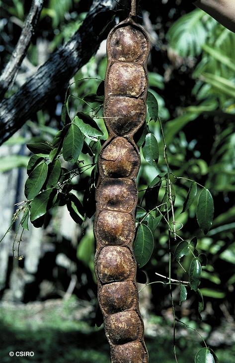 Entada Phaseoloides – Matchbox Bean (seed)