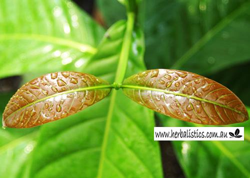 Yohimbe Leaf/bark (Pausinystalia Yohimbe) 2g