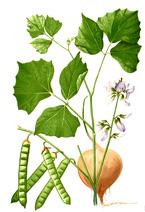 Pachyrhizus Erosus – Jicama (seed)
