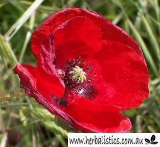 Papaver Rhoeas –  Flanders Poppy (seed)