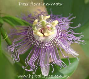 Passiflora Incarnata – Passionflower (plant)