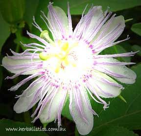 Passionflower (Passiflora Incarnata) 25g