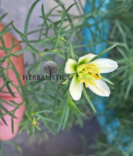Peganum Harmala – Syrian Rue (plant)