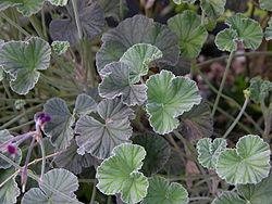 Pelargonium Sidoides – Umckaloabo (plant)