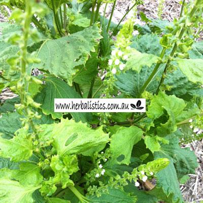 Perilla Frutescens – Green Shiso (seed)