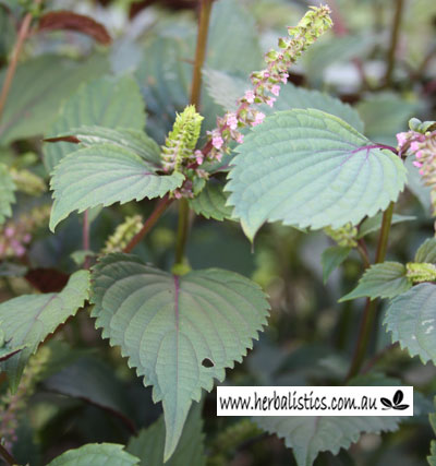 Perilla Frutescens – Red Shiso (seed)
