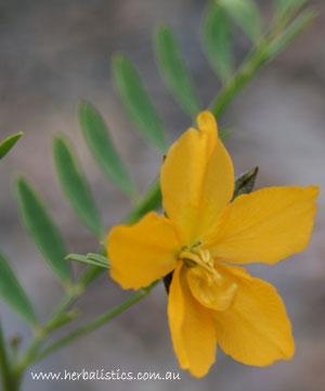 Petalostylis Labicheoides – Butterfly Bush (seed)