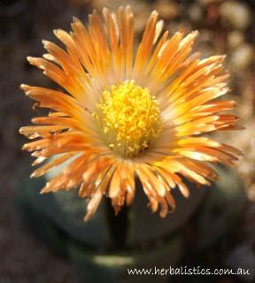 Pleiospilos Nelii – Split Rock (seed)