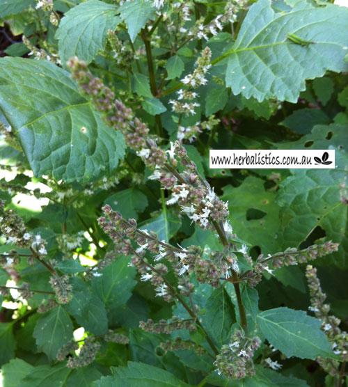 Pogostemon Cablin – Patchouli (plant)