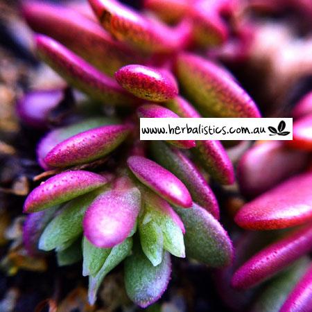 Portulaca Oleracea – Munyeroo/Purslane (plant)