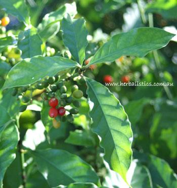 Psychotria carthaginensis
