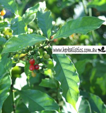 Psychotria Carthagenensis – Sameruca (seed)