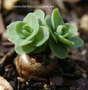 Rhodiola Rosea – Roseroot (seed)