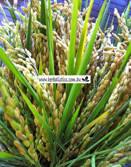 Oryza Sativa – Rice (seed)