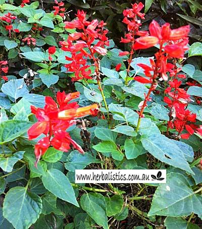 Salvia Splendens – Scarlet Sage (seed)