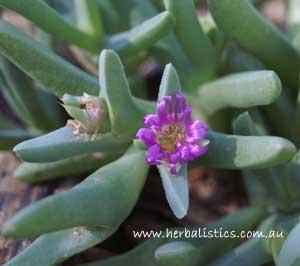 Sarcozona Praecox – Sarcozona (seed)