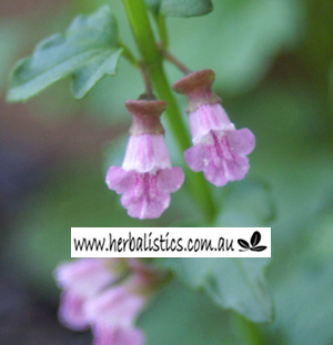 Aussie Dwarf Skullcap (Scutellaria Humilis) 1g