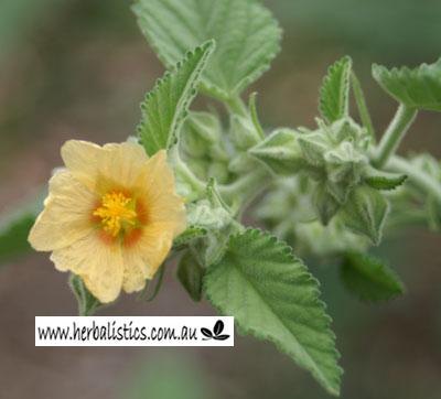 Sida Cordifolia – Bala (seed)