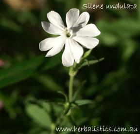 Silene undulata