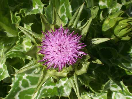 Milk Thistle (Silybum Marianum) 50g
