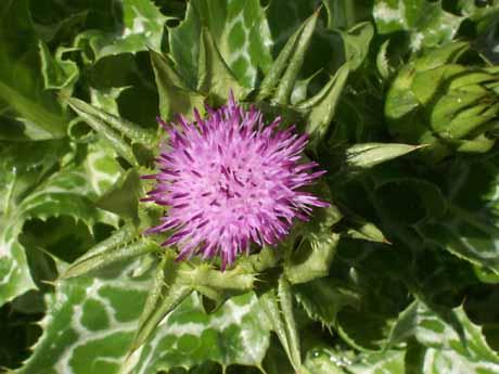Silybum Marianum – Milk Thistle (seed)