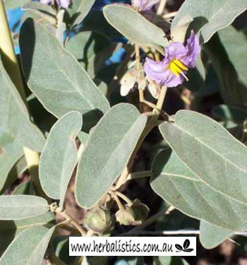Solanum Centrale – Bush Tomato (seed)