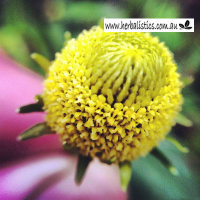 Spilanthes Acmella – Toothache Plant (seed)