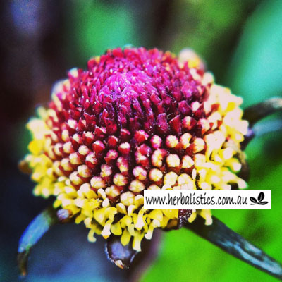 Spilanthes Oleracea – Toothache Plant (seed)