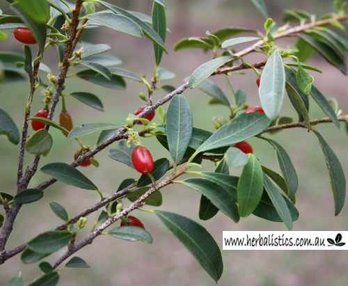 Erythroxylum Sp. 'Splityard Creek' (plant)