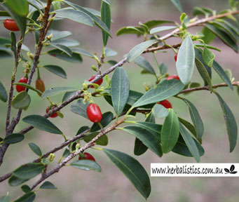 Erythroxylum Sp. 'Splityard Creek' (seed)