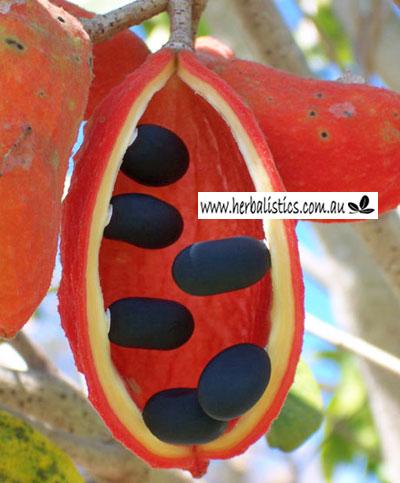 Sterculia Quadrifida – Peanut Tree (plant)
