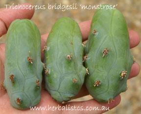 Vegetative Propagation Of Trichocereus Cacti